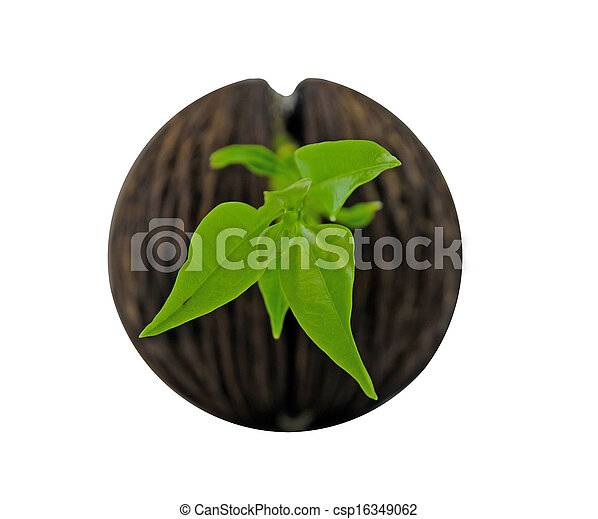 Cerbera odollam or Suicide tree fruit seed. - csp16349062