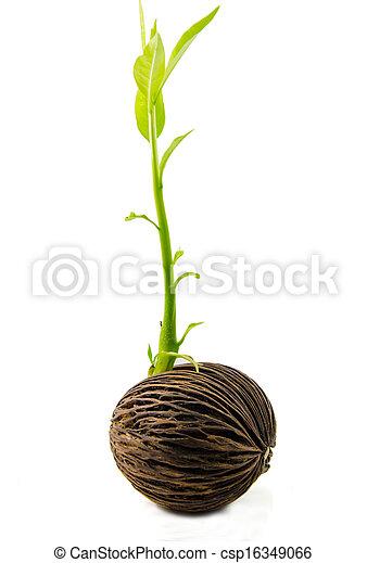 Cerbera odollam or Suicide tree fruit seed. - csp16349066