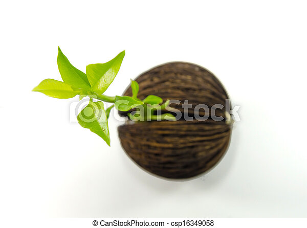 Cerbera odollam or Suicide tree fruit seed. - csp16349058