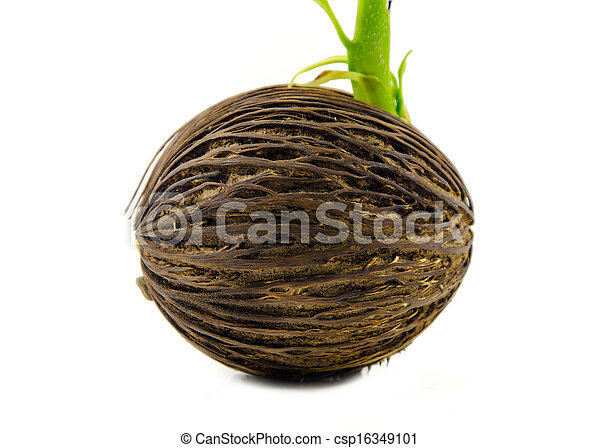 Cerbera odollam or Suicide tree fruit seed. - csp16349101