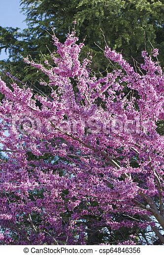 Cercis Siliquastrum Judas Tree Spring Blossom Judas Tree Spring