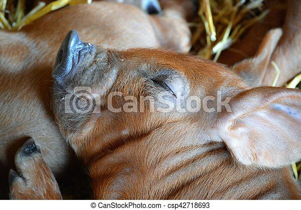 Cerdo - csp42718693