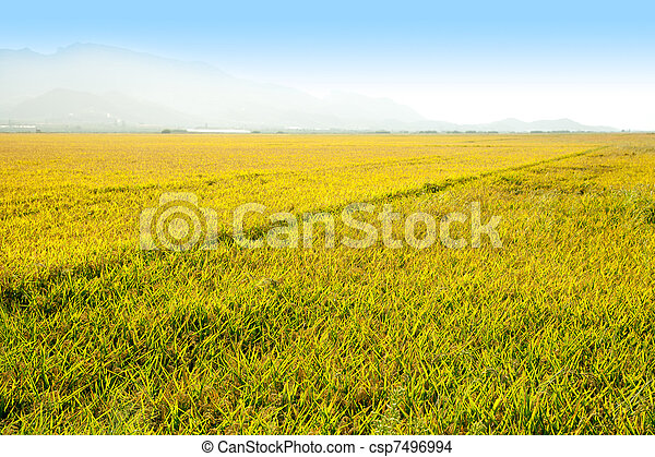 Cereal rice fields with ripe spikes in Valencia - csp7496994