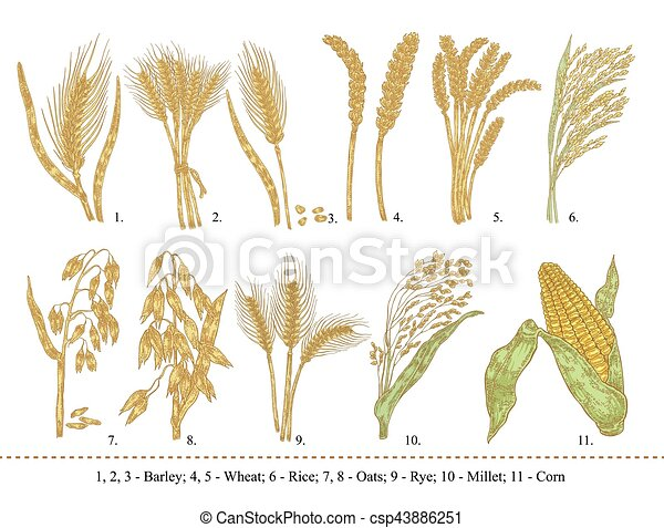 Cereal set. Hand drawn barley, wheat, rice, oats, rye, millet, corn isolated on white - csp43886251