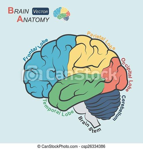 Cerebelo, plano, ), (, temporal, parietal, occipital, anatomía ...