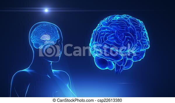 Cerebro, concepto, tálamo, hembra, lazo. Anatomía, concepto.