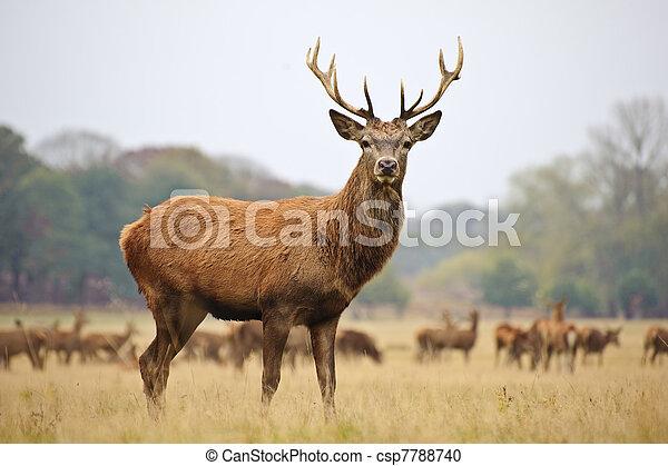 cerf, automne, cerf, automne, majestueux, portrait, rouges - csp7788740