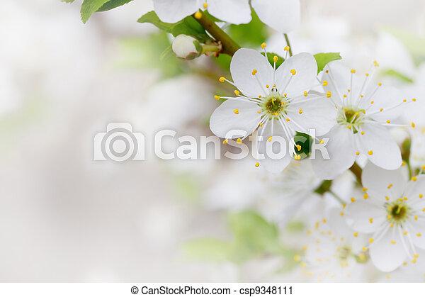 cerise, fleurs blanches - csp9348111