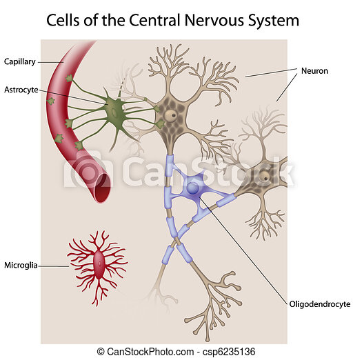 cerveau, cellules - csp6235136