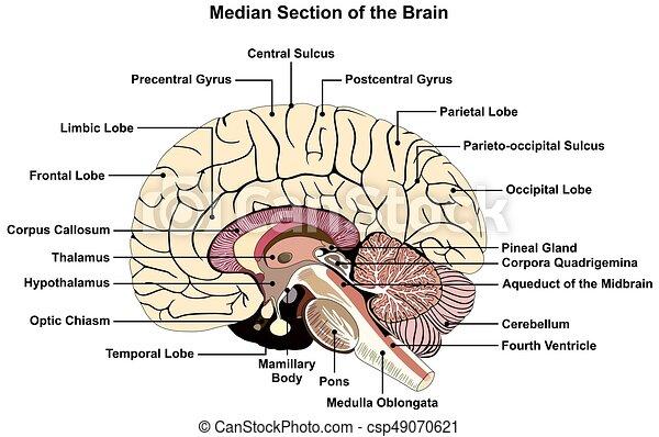 cerveau humain, médian, section, diagramme - csp49070621