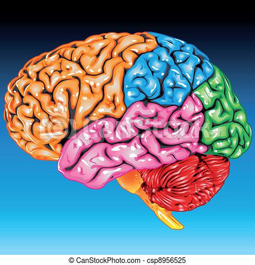 cerveau humain, vue latérale - csp8956525