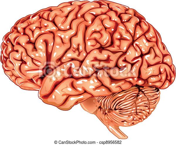 cerveau humain, vue latérale - csp8956582