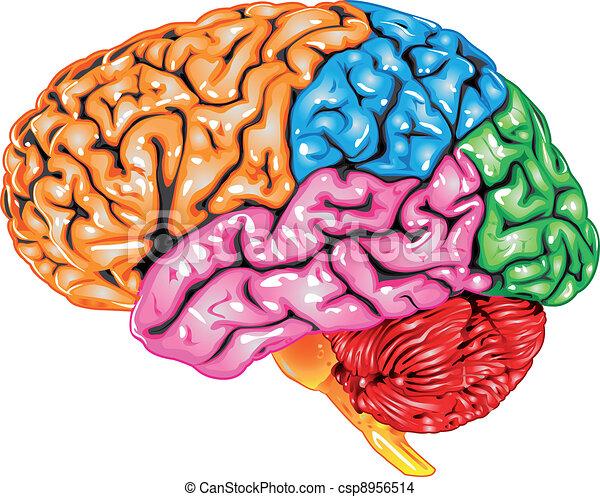 cerveau humain, vue latérale - csp8956514