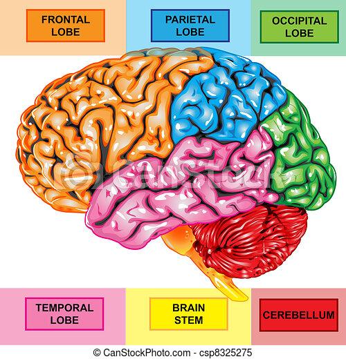 cervello, laterale, umano, vista - csp8325275