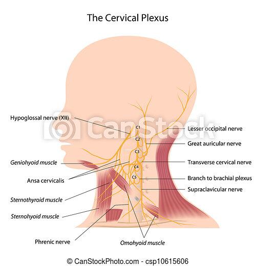 El plexo cervical, eps10 - csp10615606