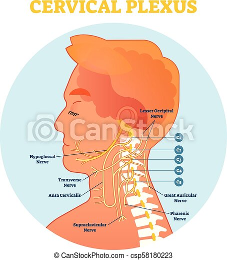Cervical plexus anatomical nerve diagram, vector illustration scheme ...