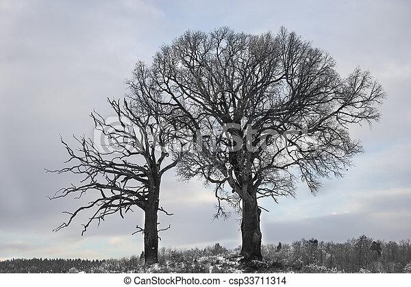 chêne, arbres hiver - csp33711314