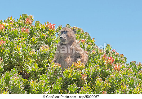 Chacma baboon in a protea shrub at Cape Point - csp25029067