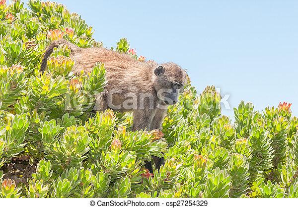 Chacma baboon in a protea shrub - csp27254329