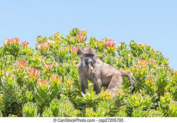 Chacma baboon in a protea shrub - csp27205793