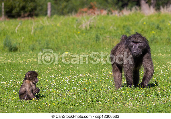 Chacma baboon mother and infant - csp12306583