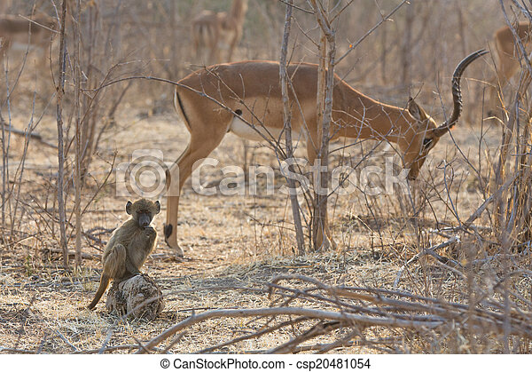 Chacma Baboon (Papio ursinus) baby with impala in the background - csp20481054