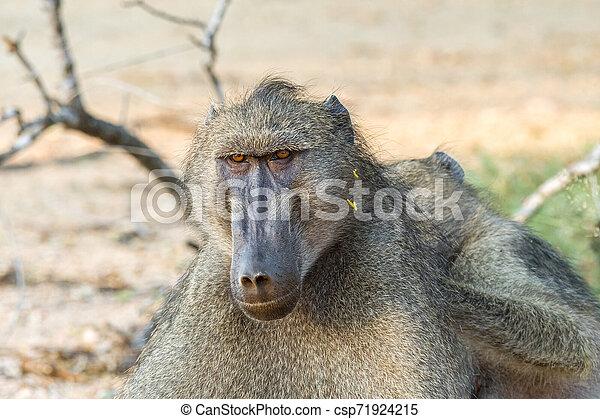 Chacma baboon, Papio ursinus, being groomed - csp71924215
