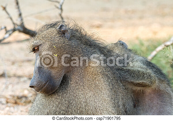 Chacma baboon, Papio ursinus, being groomed - csp71901795
