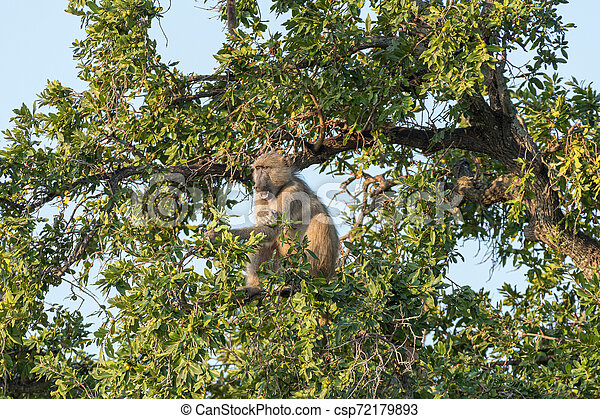 Chacma baboon, Papio ursinus, eating fruit in a tree - csp72179893