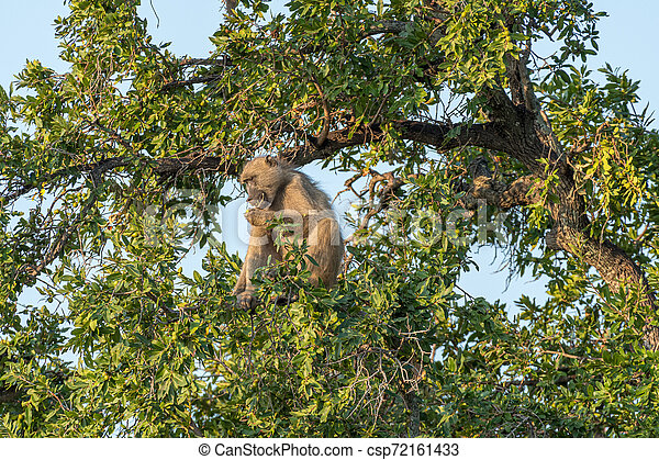 Chacma baboon, Papio ursinus, eating fruit in a tree - csp72161433