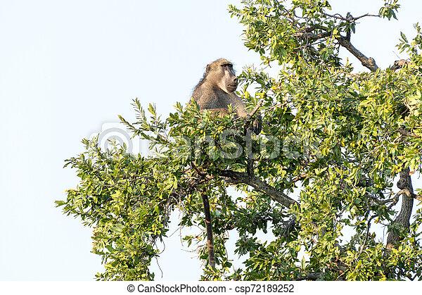Chacma baboon, Papio ursinus, sitting in a tree - csp72189252