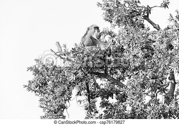 Chacma baboon, Papio ursinus, sitting in a tree. Monochrome - csp76179827