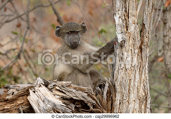 Chacma baboon, Papio ursinus - csp29996962