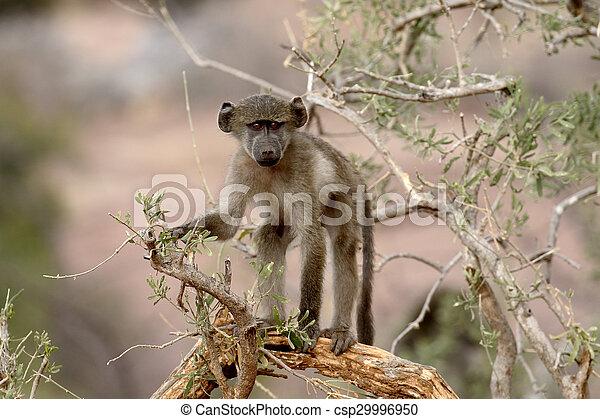 Chacma baboon, Papio ursinus - csp29996950