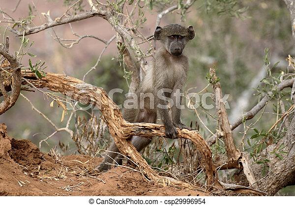Chacma baboon, Papio ursinus - csp29996954