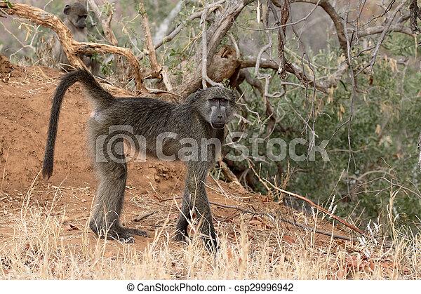Chacma baboon, Papio ursinus - csp29996942