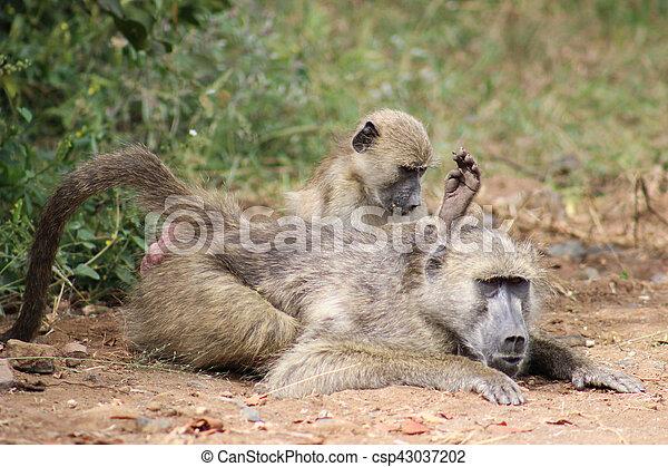 chacma baboon ( Papio ursinus ) - csp43037202