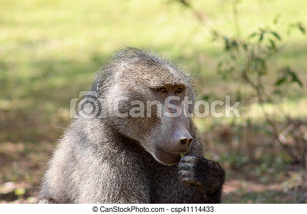 Chacma baboon (Papio ursinus) - csp41114433
