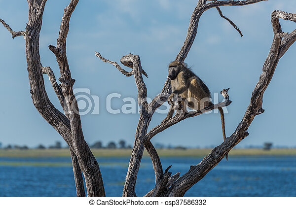 Chacma baboon sitting beside river in tree - csp37586332