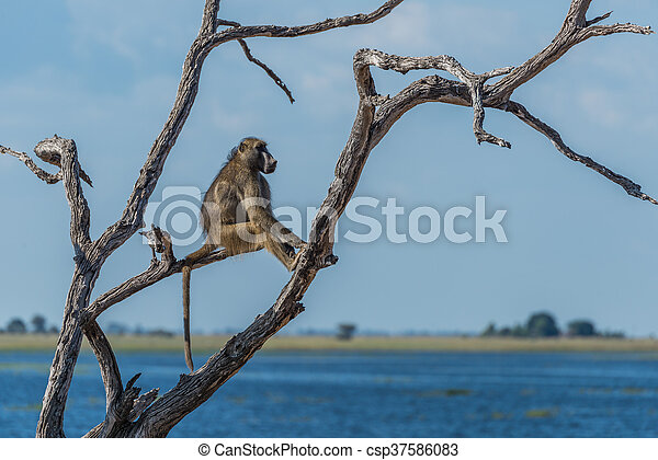 Chacma baboon sitting by river in tree - csp37586083