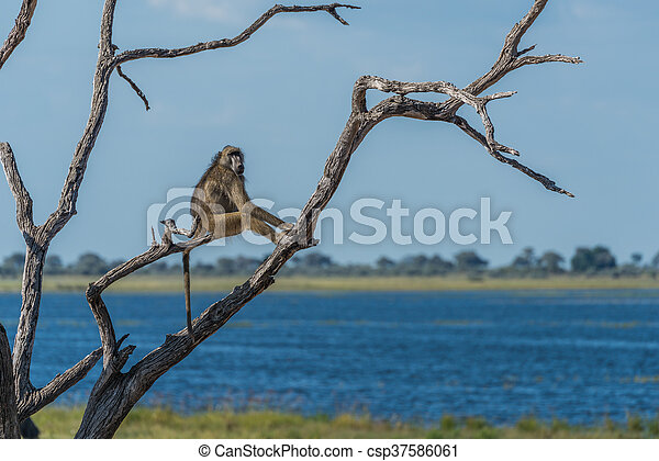 Chacma baboon sitting in tree by river - csp37586061