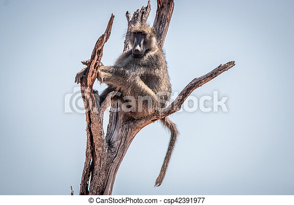 Chacma baboon sitting on a tree. - csp42391977