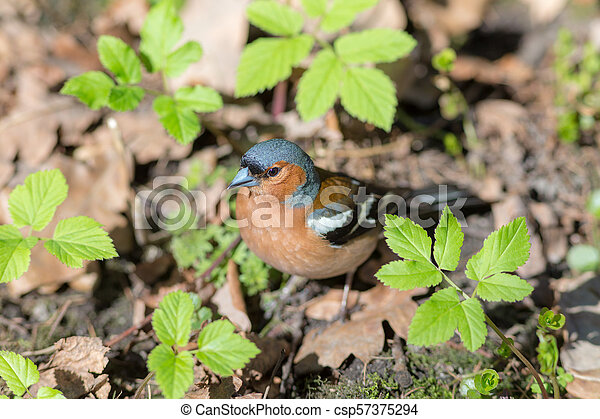 chaffinch on the ground - csp57375294