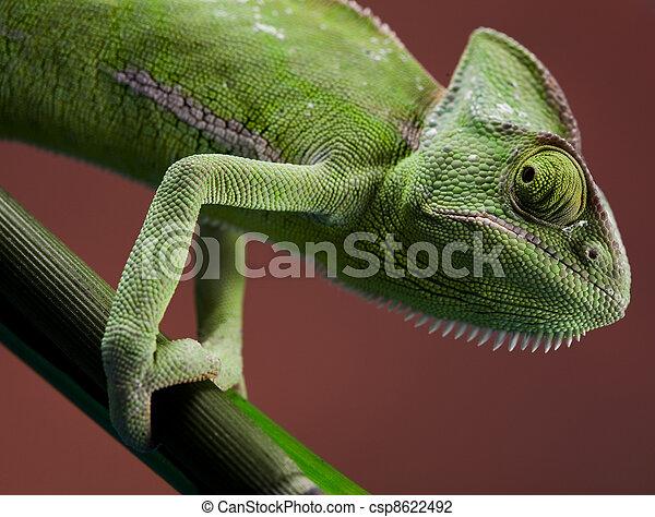 Chameleon on flower - csp8622492