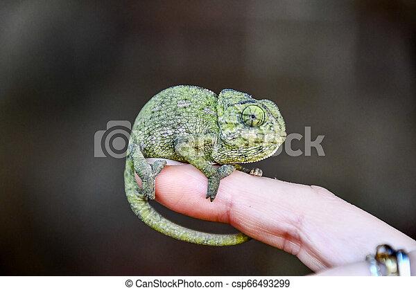 chameleon on hand, photo as background, baby chamaleon - csp66493299