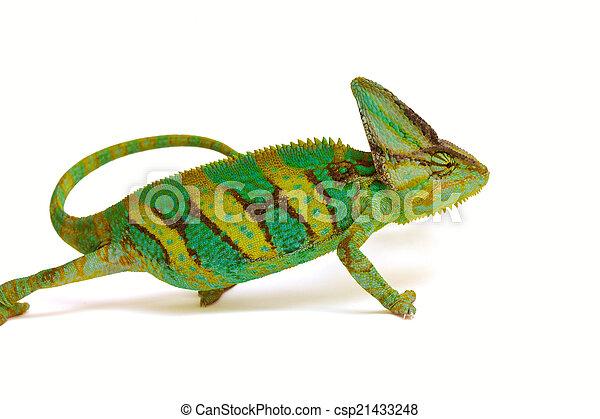 chameleon - csp21433248