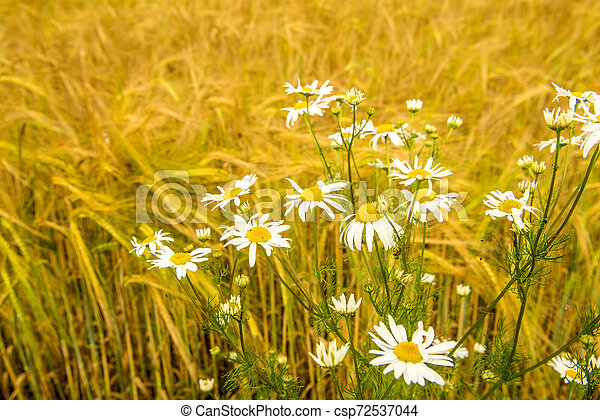 Chamomile at a field of barley in Germany - csp72537044