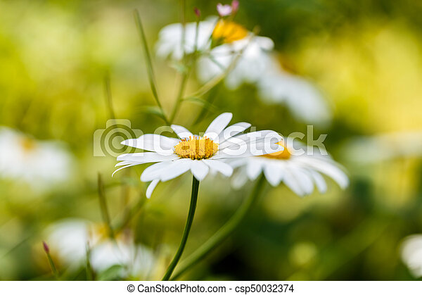 Chamomile flowers on a meadow in summer - csp50032374