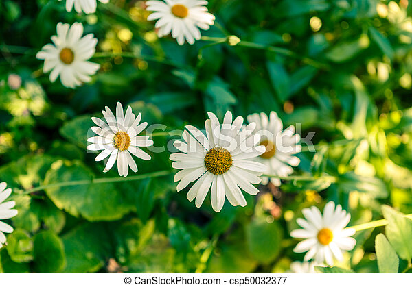 Chamomile flowers on a meadow in summer - csp50032377