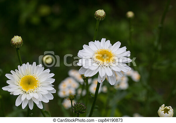 Chamomile flowers on a meadow in summer - csp84190873
